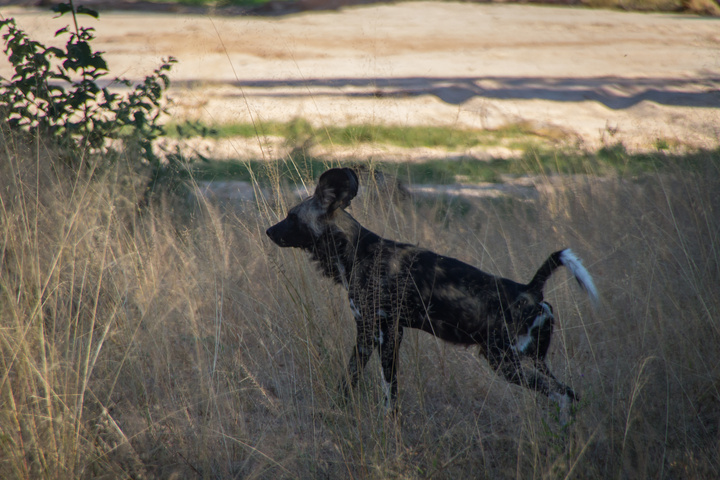 painted dog profile 720x480