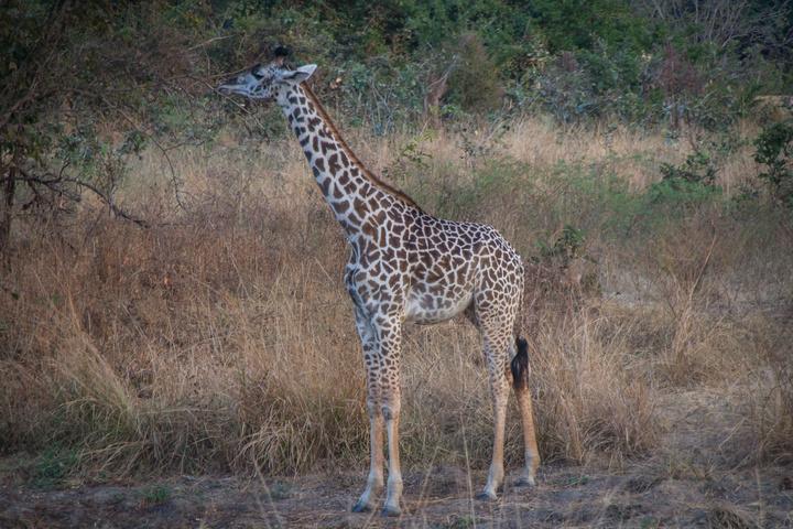 baby giraffe 720x480