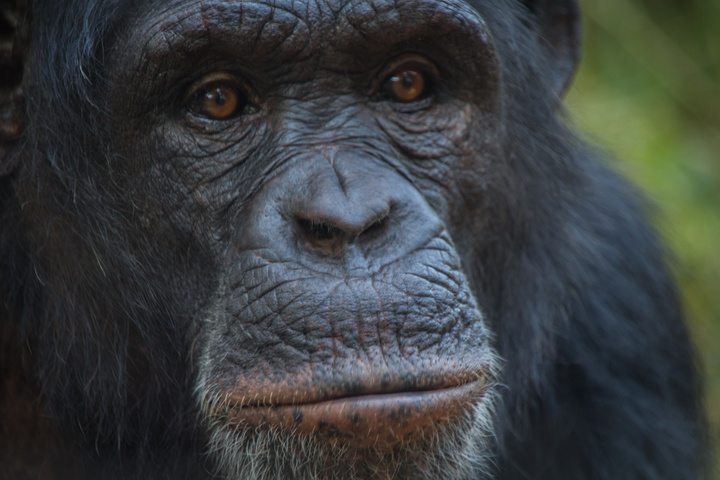 chimfunshi chimp face 2 720x480
