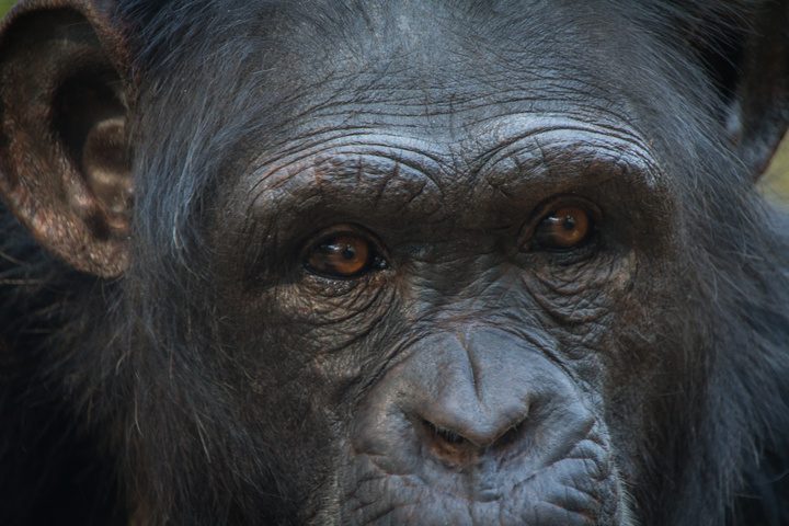chimfunshi chimp face 720x480