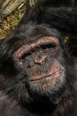 chimfunshi laid back chimp 320x480
