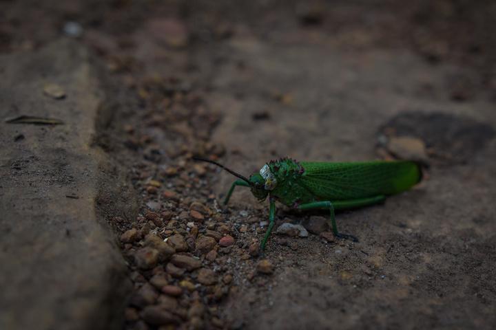 massive grasshopper 720x480