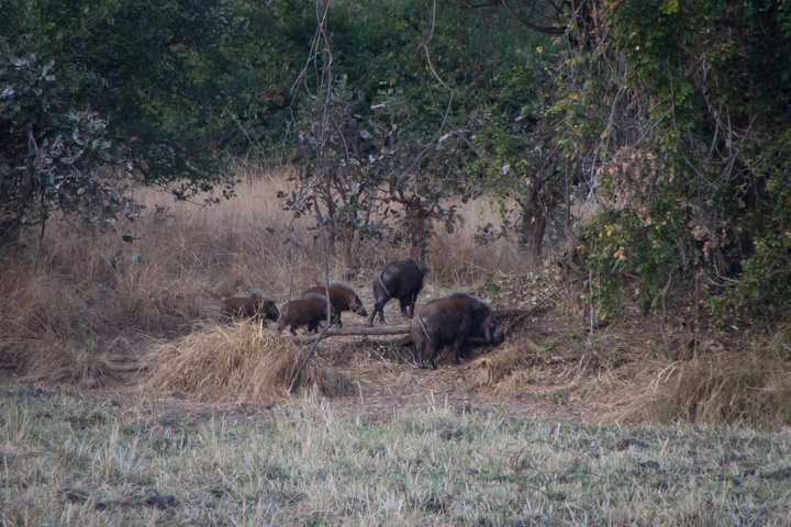 south luangwa bush pigs 720x480