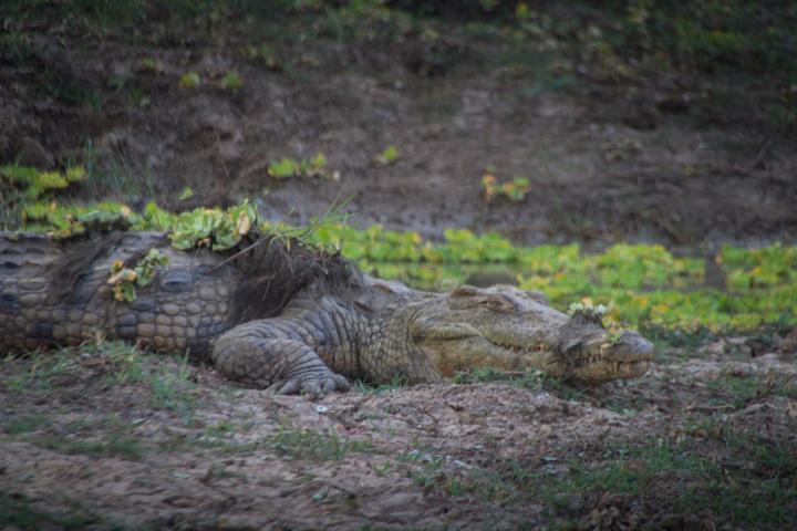 south luangwa croc camo 720x480