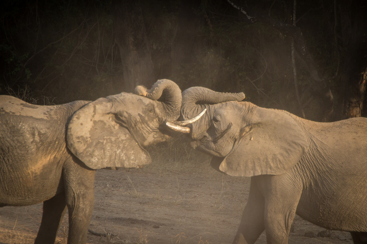 south luangwa elephants fighting 720x480