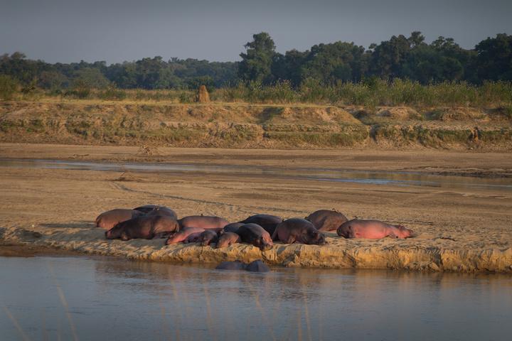 south luangwa hippos 720x480