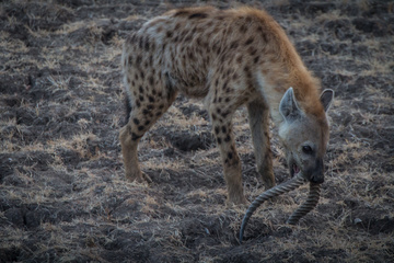 A hyena gnawing on some discarded antlers
