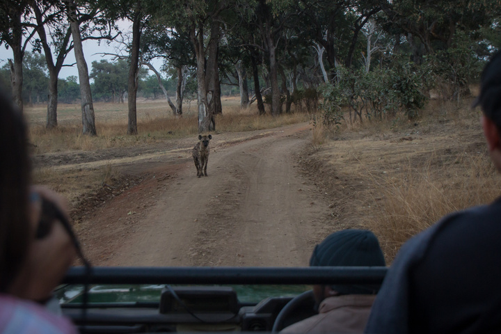 south luangwa hyena road 720x480