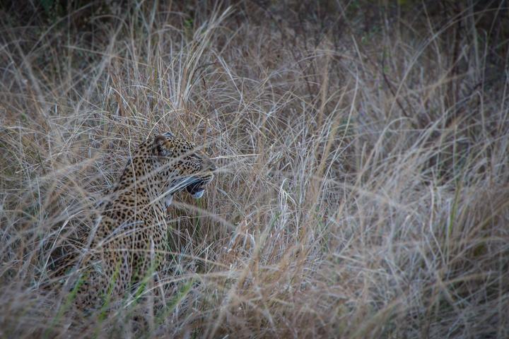 south luangwa leopard camo 720x480