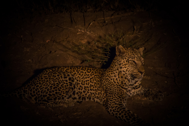 south luangwa leopard night 720x480