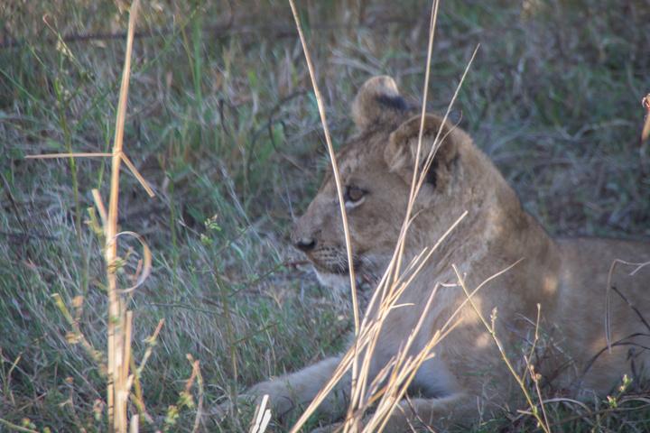 south luangwa lion cub 720x480