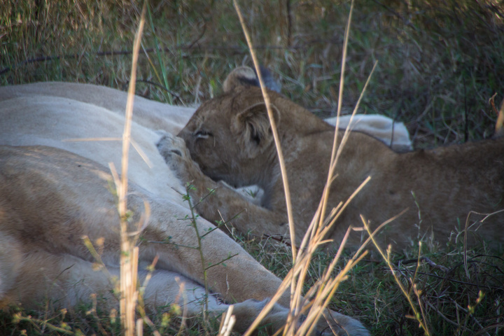 south luangwa lion cub feeding 720x480