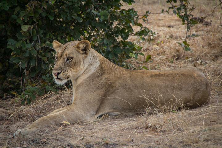 south luangwa lioness 720x480