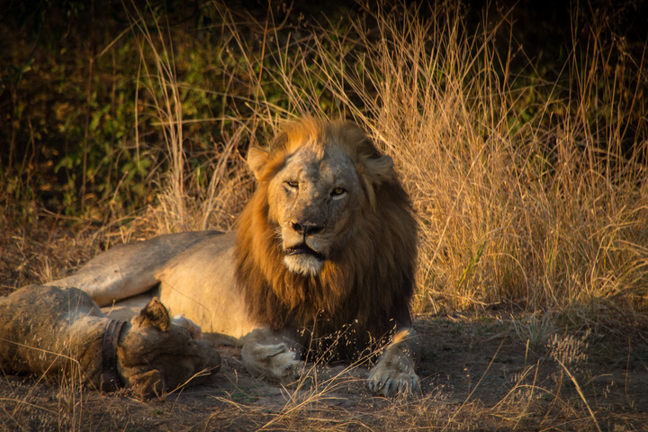 south luangwa lions resting 720x480