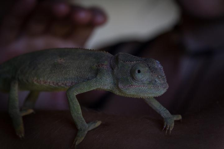 victoria falls snake park friendly chameleon 720x480