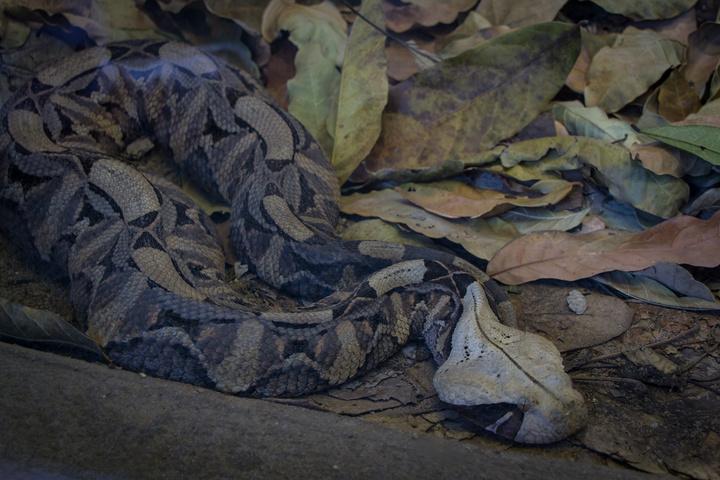 victoria falls snake park gabon viper 720x480