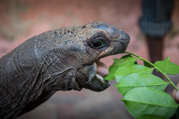 zanzibar prison island giant tortoise eating 720x480