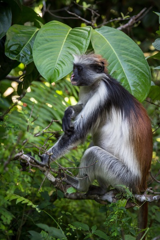 zanzibar red colobus monkey 320x480