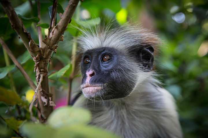 zanzibar red colobus monkey face 720x480