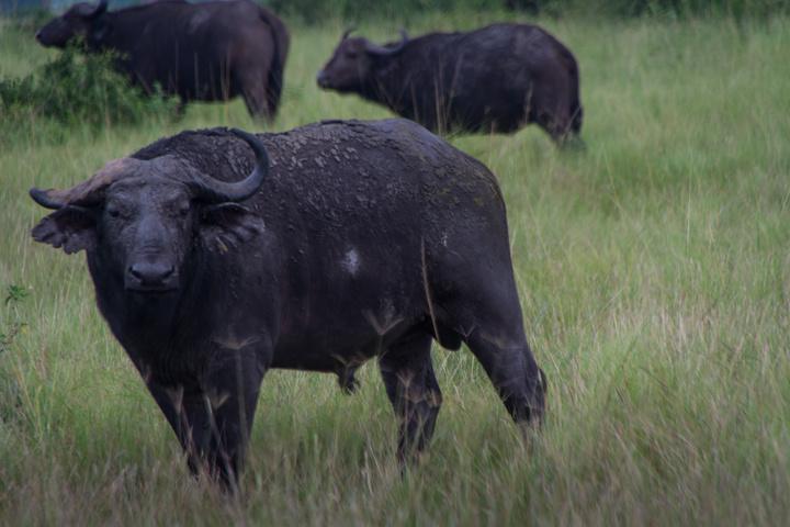 ishasha buffalo 720x480