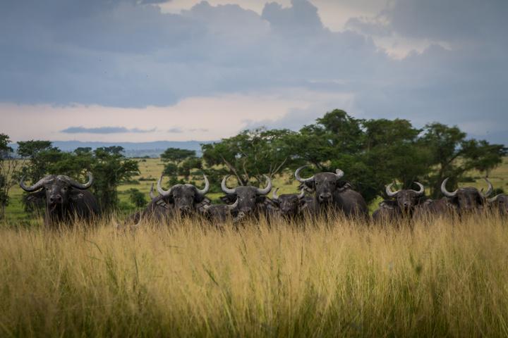 ishasha buffaloes 720x480