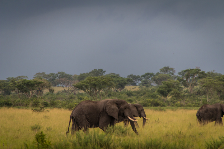 ishasha elephants 720x480