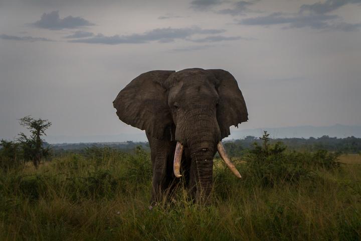 ishasha mighty elephant 720x480