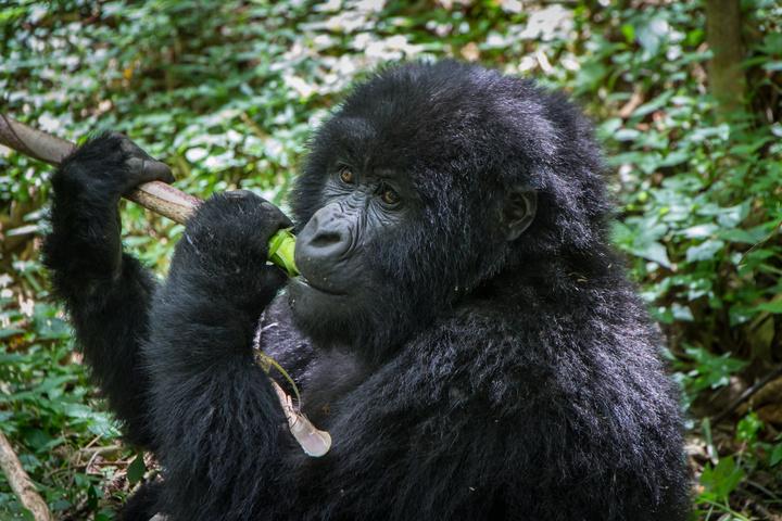 mgahinga gorilla 720x480