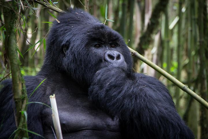 mgahinga gorilla eating 2 720x480