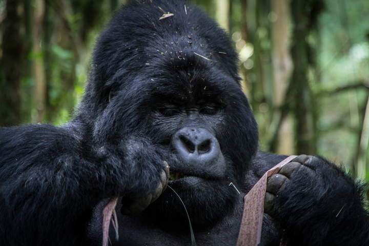 mgahinga gorilla eating 720x480