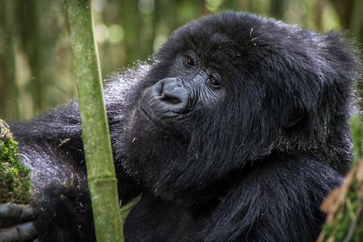 mgahinga gorilla eating bamboo 720x480