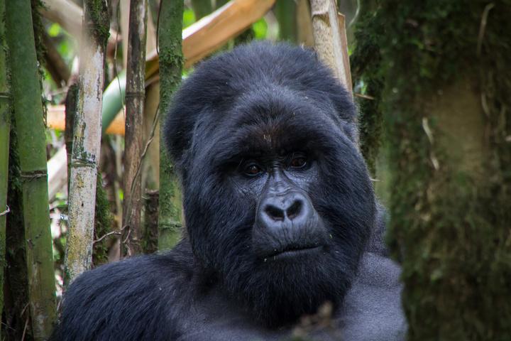 mgahinga gorilla face 720x480