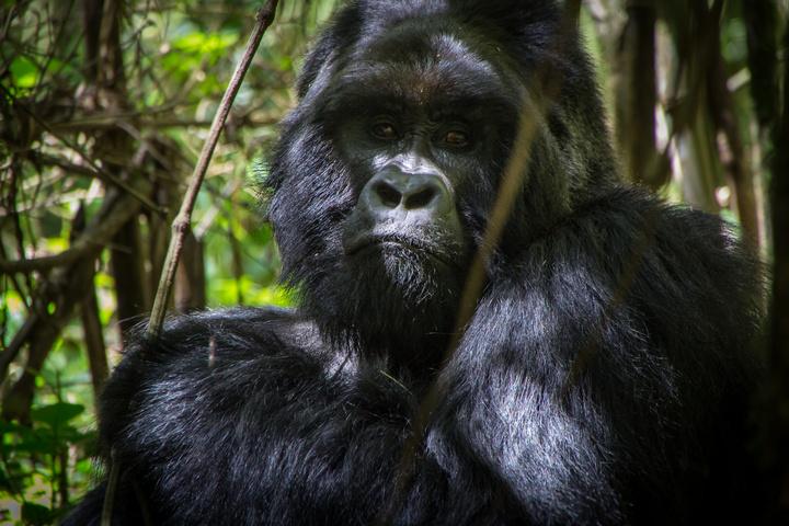 mgahinga gorilla looking 720x480