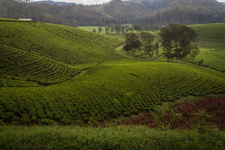 rwanda tea plantations 720x480