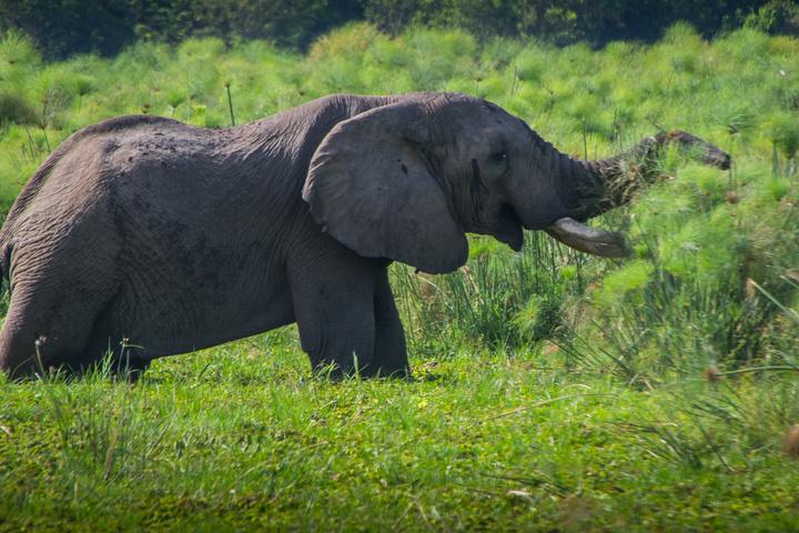 murchison elephant 720x480