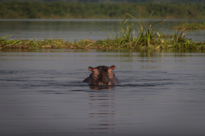 murchison hippo watching carefully 720x480