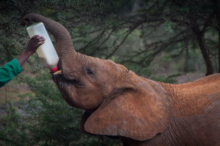 elephant drinking 720x480
