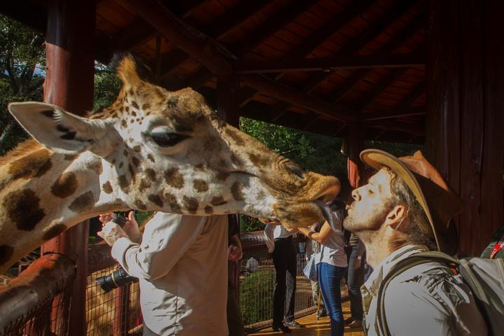 giraffe dan kiss1 720x480