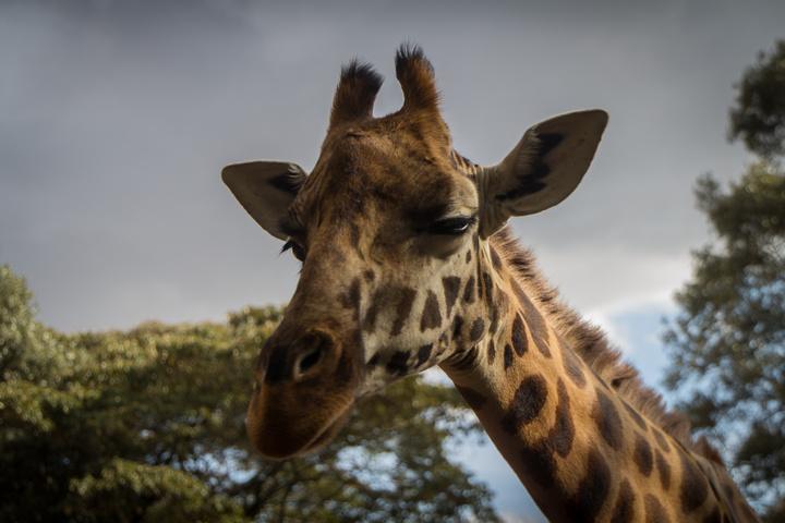giraffe face 720x480
