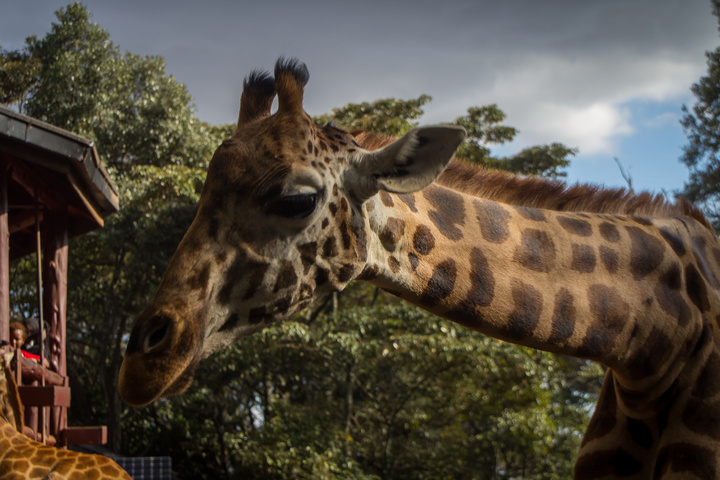 giraffe head 720x480