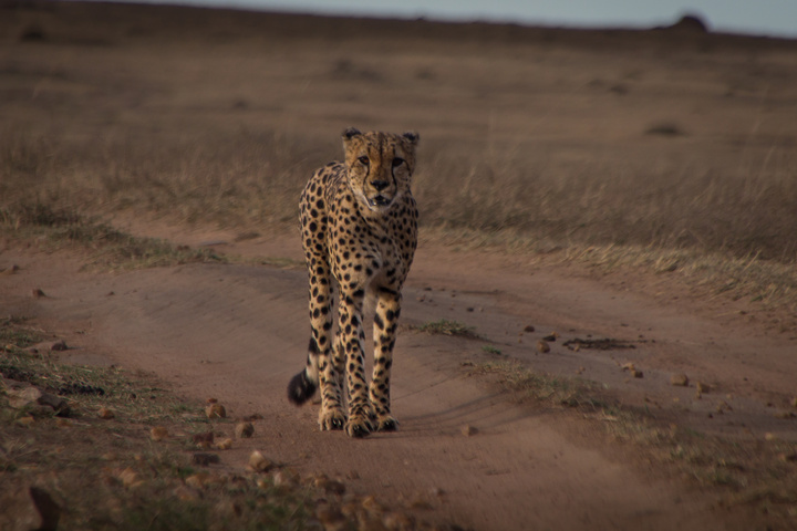 masai mara cheetah walking 720x480