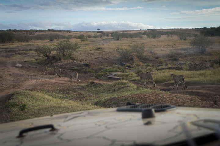 masai mara cheetas near jeep 720x480