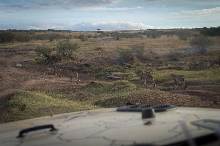 masai mara cheetas near jeep 720x480