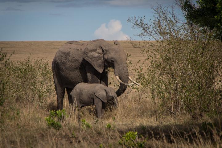masai mara elephants 720x480