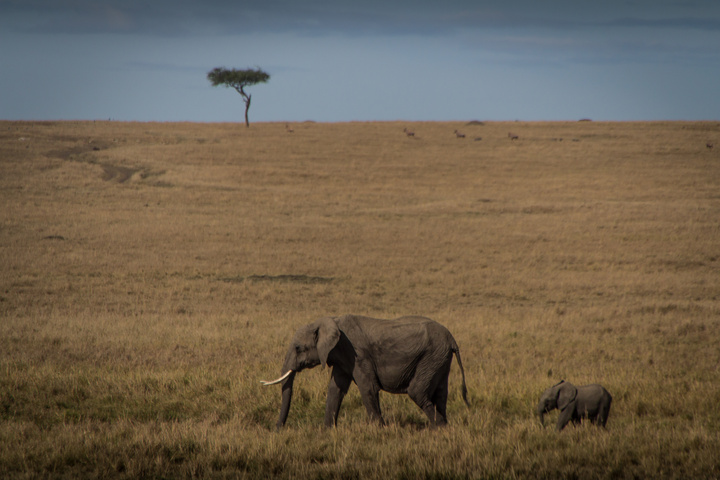 masai mara elephants walking 720x480