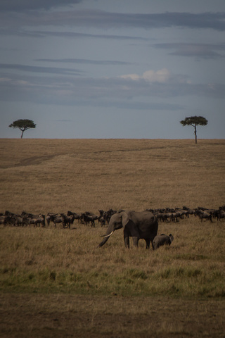 masai mara elephants wildebeest 320x480