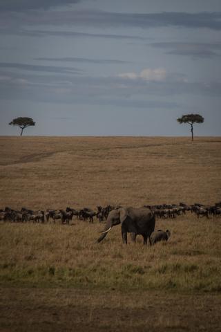 masai mara elephants wildebeest 320x480