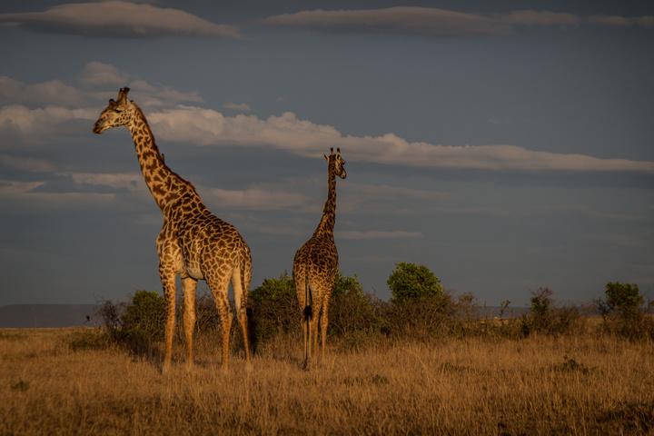 masai mara giraffe 720x480