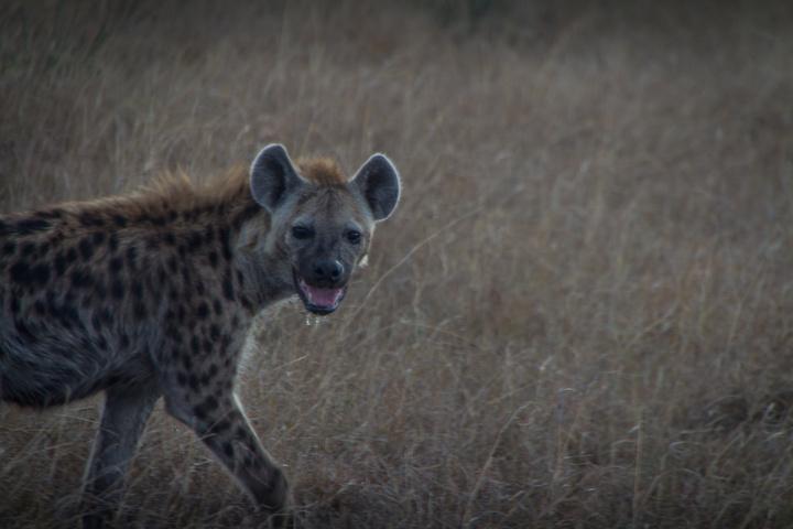 masai mara hyena 720x480