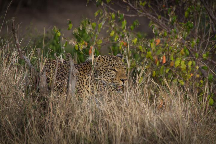 masai mara leopard camo 720x480